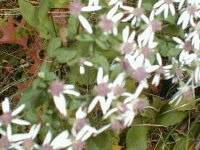 white_wood_aster